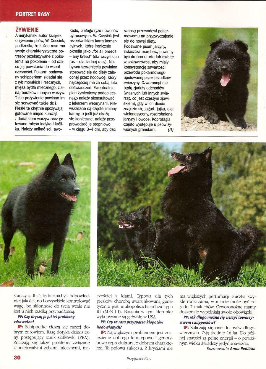 Przyjaciel Pies - Schipperke